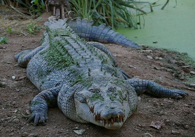 عنزة تقتل تمساحا