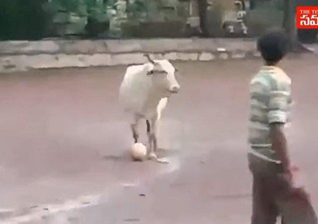 بالفيديو.. بقرة تلعب كرة القدم