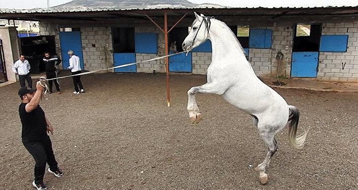 تربية الخيول السورية الأصيلة تنشط مجددا