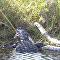 تمساح يفترس ثعبان ضخم أمام أعين المصور