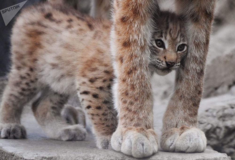أحد الشبلين، الذي ولد لزوجين من الوشق من شرق سيبيريا في 20 مايو/ أيار، يخرج في نزهة من القفص من حديقة الحيوان في موسكو.