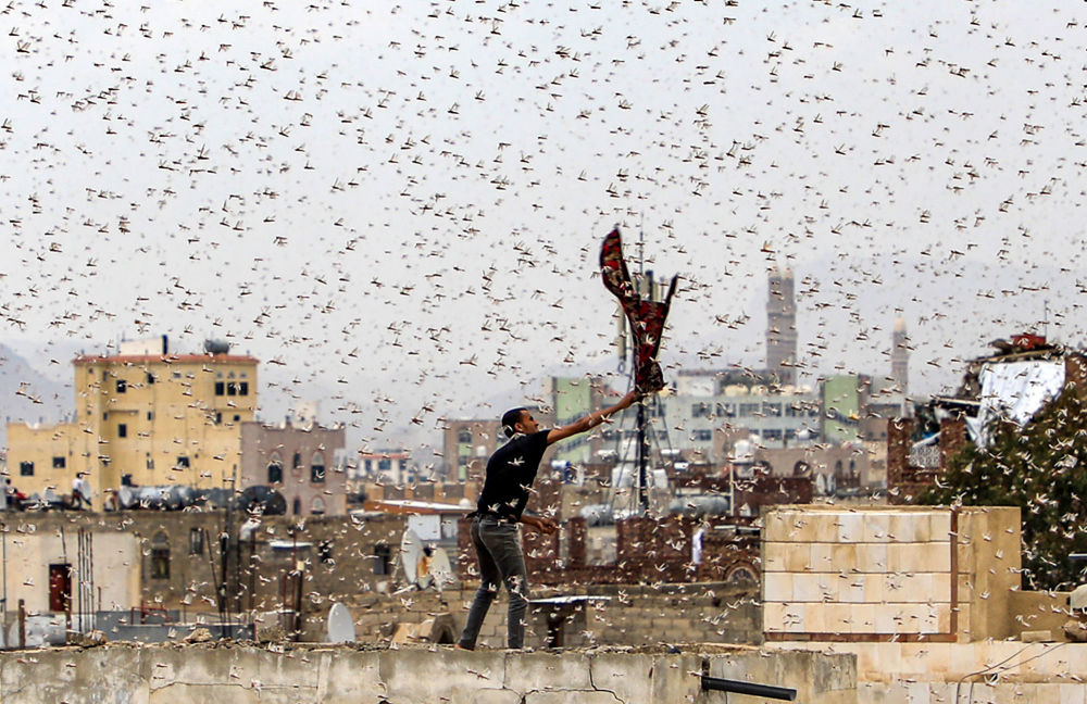 رجل يحاول التقاط جراد يطير فوق مدينة صنعاء، اليمن 28 يوليو، تموز 2019