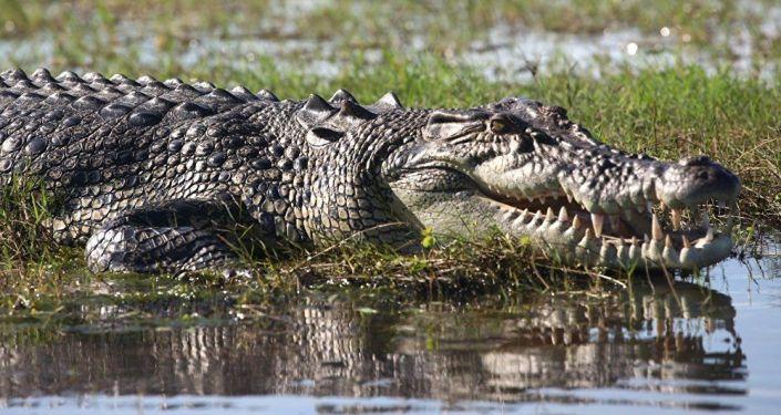 الإمساك بتمساح يزن أكثر من 200 كيلوغرام في ميسيسيبي