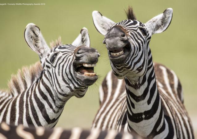حماران وحشيان يلهوان ويبدو أنهما يضحكان للكاميرا. الحيوان: حمار وحشي. موقع التصوير: منطقة نجورونجورو المحمية، تنزانيا