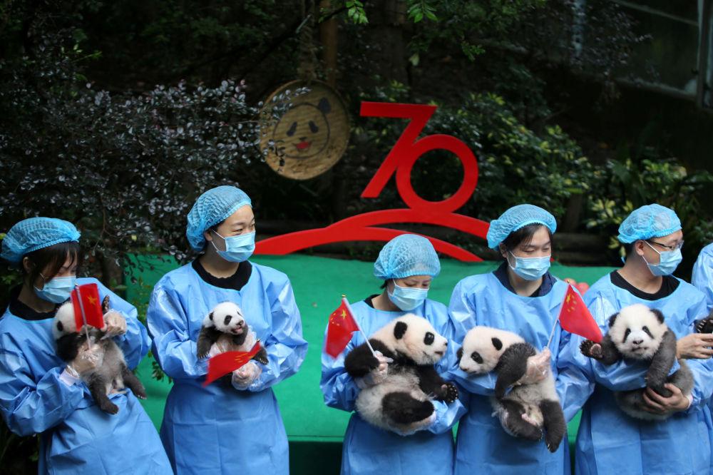 موظفو حديقة الحيوان يحملون صغار الباندا من مواليد 2019 أثناء احتفال بالذكرى الـ70 بمناسبة تأسيس جمهورية الصين الشعبية، 24 سبتمبر 2019