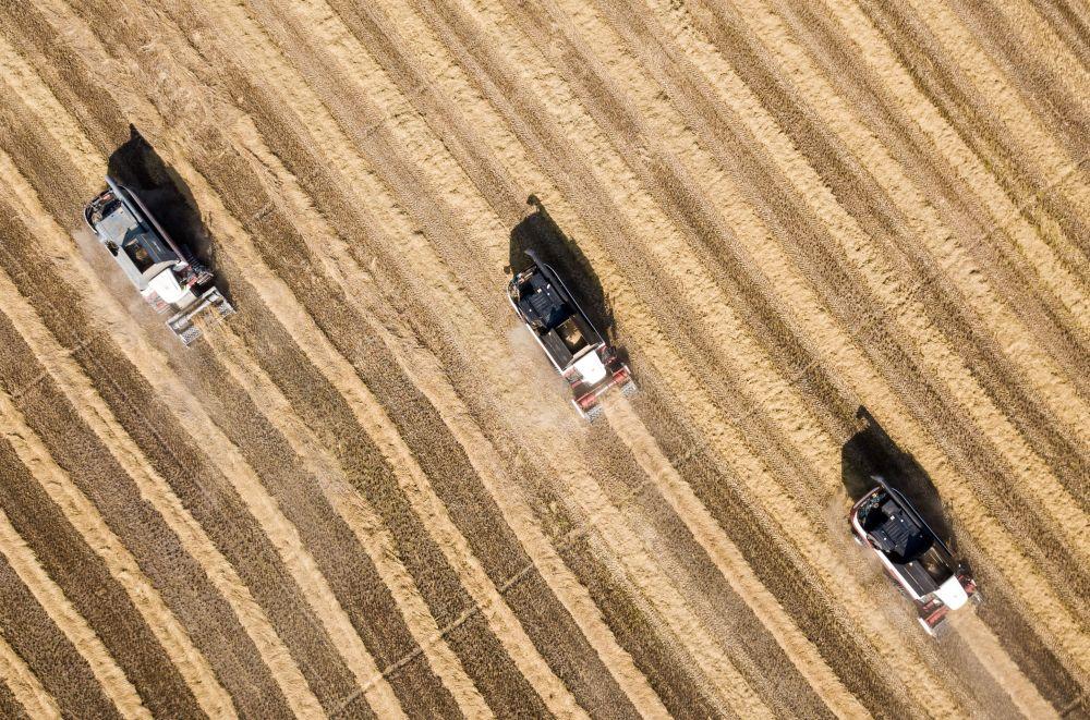 حصاد الرز على حقول ناتسيونال في منطقة كراسنودارسكي كراي الروسية