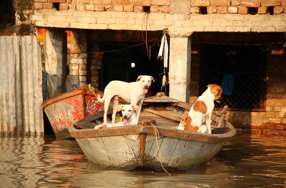 كلاب في قارب بالقرب من منزل غمرته المياه نتيجة الفياضان الناجم عن ارتفاع منسوب نهر يامونا في الله آباد، 21 سبتمبر 2019