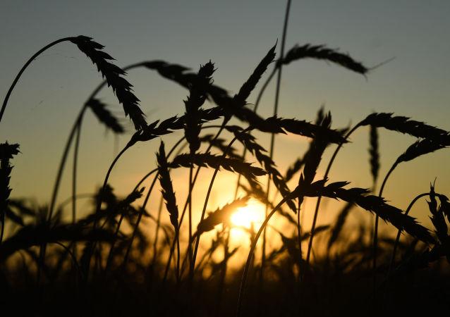 حصاد القمح، منطقة نوفوسيبيرسك، روسيا، الزراعة، الاقتصاد، قمح، اقتصاد