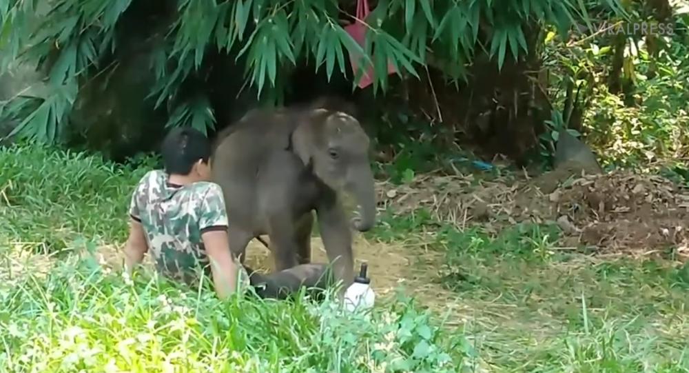 فيل يتيم يعود إلى منقذه بعد أن تخلى عنه قطيعه