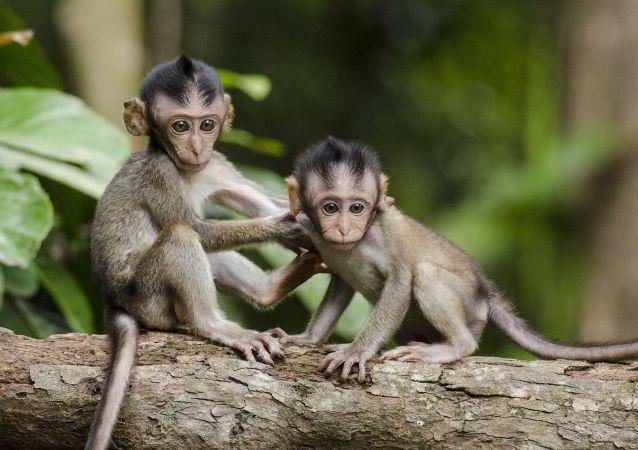 مقتل العديد من القرود أثناء محاولة إنقاذ أحدهم كان عالقا بين أسلاك الكهرباء