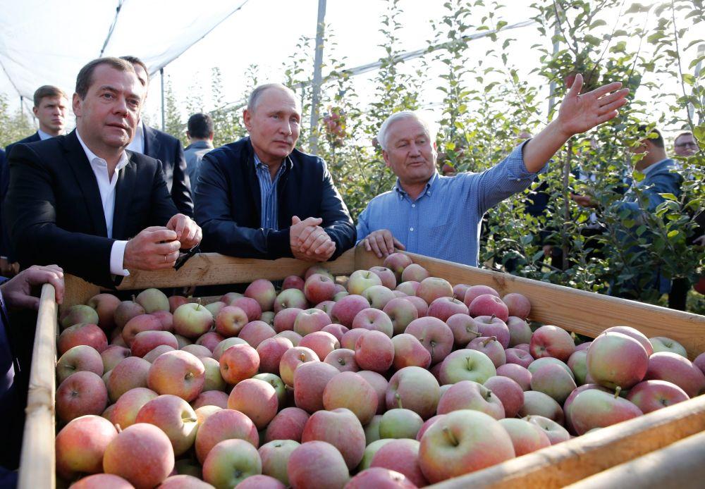الرئيس الروسي فلاديمير بوتين ورئيس الوزراء الروسي ديمتري ميدفيديف خلال زيارة لبساتين التفاح في مشروع روسفيت الزراعي في إقليم ستافروبول الروسي، 8 أكتوبر 2019