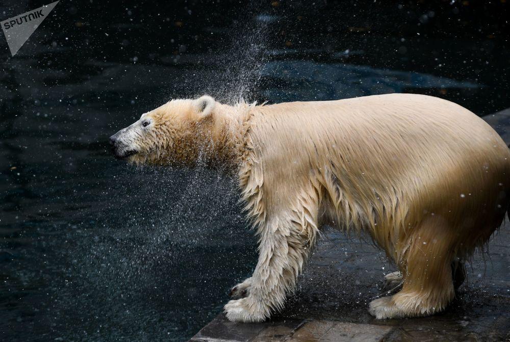 دب قطبي في حديقة حيوانات نوفوسيبيرسك خلال عطلة يوم اليقطين