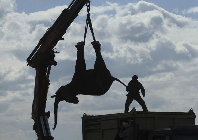القبض على فيل