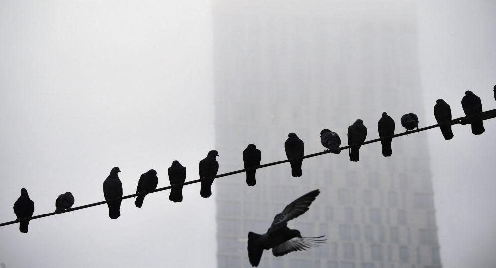 طيور الحمام