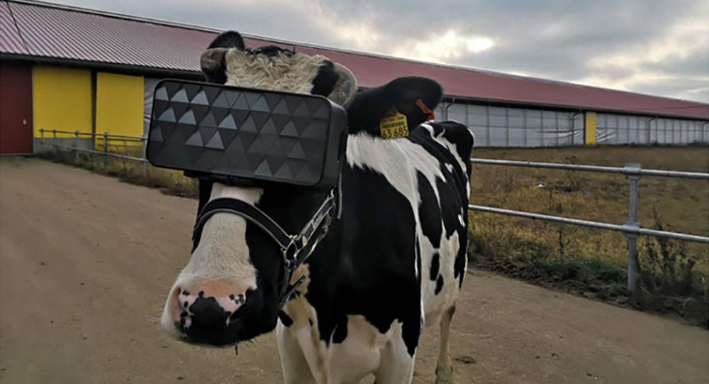 نظارات الواقع الافتراضي خاصة للأبقار