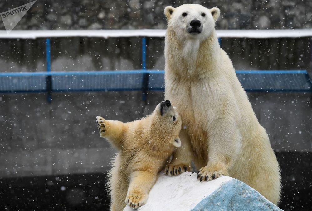 أنثى الدب القطبي غيردا وصغيرها تيدي في حديقة الحيوانات في نوفوسيبيرسك الروسية، 26 أكتوبر 2019