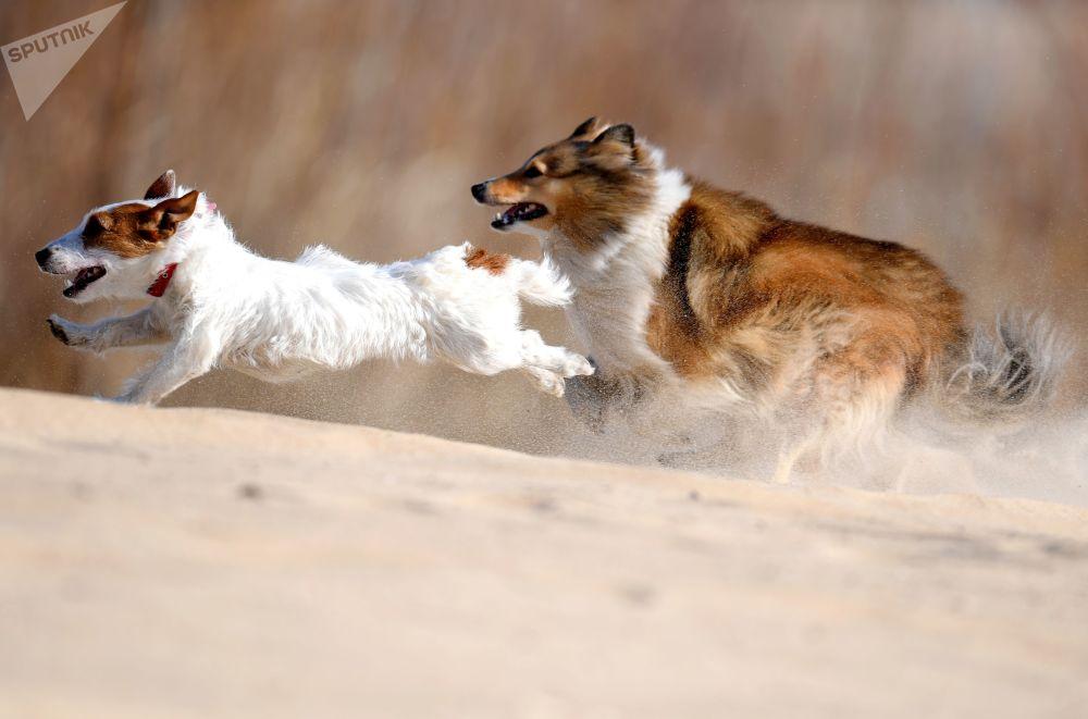كلب جاك راسل تيرير وكلب شيلتي أثناء تدريبات الكلاب في قازان الروسية، 4 أبريل 2019
