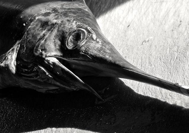 سمكة أبو سيف