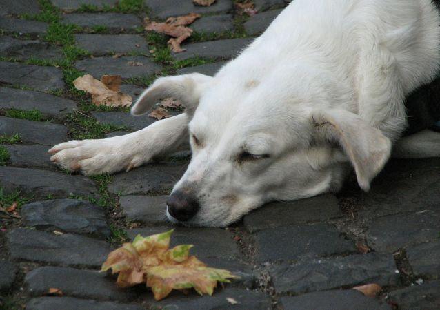 كلب أبيض