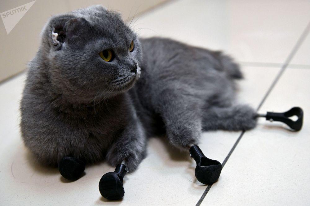 القطة ديمكا (ضبابية) من نوفوسيبيرسك بعد إجراء عملية لزرع الأطراف الاصطناعية من التيتانيوم المصنوعة بواسطة طابعة ثلاثية الأبعاد