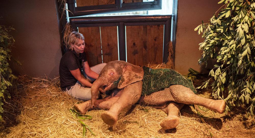 أنثى الفيل خانيزيا تلقى الرعاية من أدين رود مديرة مركز هودسبروت لإعادة تأهيل وتنمية الفيلة، جنوب أفريقيا، 11 فبراير/ شباط 2020
